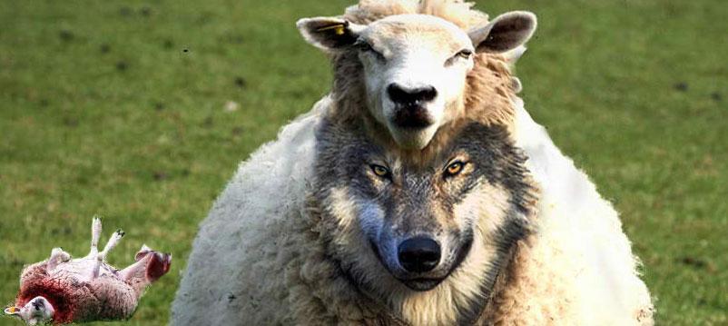 wolfinsheepkilled